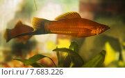 Аквариумная рыбка меченосец. Стоковое фото, фотограф Кухаренко Ефим / Фотобанк Лори