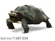 Aged african spurred tortoise. Стоковое фото, фотограф Яков Филимонов / Фотобанк Лори