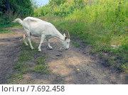 Купить «Белая коза на дороге», фото № 7692458, снято 7 сентября 2014 г. (c) Валерий Боярский / Фотобанк Лори