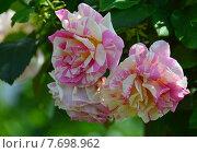 Купить «Роза чайно-гибридная Клод Моне (лат. Claude Monet), DELBARD, Франция», эксклюзивное фото № 7698962, снято 14 июля 2015 г. (c) lana1501 / Фотобанк Лори