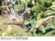 Листья яблони повреждённые гусеницами. Стоковое фото, фотограф Литвинова Евгения / Фотобанк Лори