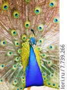 Male Indian Peafowl with beautiful feather. Стоковое фото, фотограф Яков Филимонов / Фотобанк Лори
