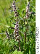 Купить «Пустырник пятилопастный (лат. Leonurus quinquelobatus)», эксклюзивное фото № 7740374, снято 1 июля 2015 г. (c) lana1501 / Фотобанк Лори