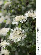 Ой цветет калина. Стоковое фото, фотограф Дарья Швыдкая / Фотобанк Лори