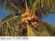 Купить «coconut palm tree sago arecaceae», фото № 7747054, снято 20 января 2019 г. (c) PantherMedia / Фотобанк Лори