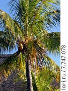 Купить «coconut palm tree sago arecaceae», фото № 7747078, снято 20 января 2019 г. (c) PantherMedia / Фотобанк Лори