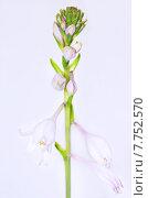 Красивые цветы хоста. Стоковое фото, фотограф Оксана Дорохина / Фотобанк Лори
