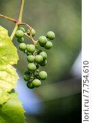 Гроздь зеленого винограда на лозе. Стоковое фото, фотограф Владимир Ходатаев / Фотобанк Лори