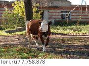 Корова на территории Феодоровского женского монастыря в Переславле Залесском (2010 год). Стоковое фото, фотограф lana1501 / Фотобанк Лори