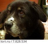 Купить «Old eyes dog faithful bernersennen», фото № 7828534, снято 20 сентября 2018 г. (c) PantherMedia / Фотобанк Лори