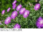 Купить «Астры в саду», фото № 7851294, снято 14 июня 2015 г. (c) mark_vb / Фотобанк Лори