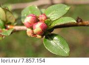 Купить «spring bud embellishment chaenomeles speciosa», фото № 7857154, снято 22 января 2019 г. (c) PantherMedia / Фотобанк Лори