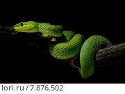 Купить «snake serpent snakes giftige tiere», фото № 7876502, снято 25 марта 2019 г. (c) PantherMedia / Фотобанк Лори