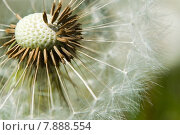 Купить «plant delicate hairy dandelion filigree», фото № 7888554, снято 21 марта 2019 г. (c) PantherMedia / Фотобанк Лори