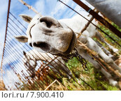 Белая лошадь. Стоковое фото, фотограф Оксюта Виктор / Фотобанк Лори
