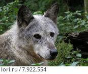 Купить «Wolfsportrait», фото № 7922554, снято 22 июля 2019 г. (c) PantherMedia / Фотобанк Лори