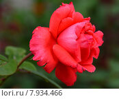 Роза чайно-гибридная Мажисьэн (лат. Magicienne 78) Стоковое фото, фотограф lana1501 / Фотобанк Лори