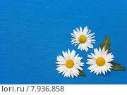 Купить «Три ромашки на голубом трикотажном фоне», фото № 7936858, снято 17 июля 2015 г. (c) Наталья Осипова / Фотобанк Лори