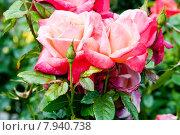 Две цветущие розы в саду. Стоковое фото, фотограф Татьяна Кахилл / Фотобанк Лори