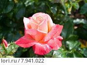 Цветущая роза в саду. Стоковое фото, фотограф Татьяна Кахилл / Фотобанк Лори