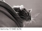 Купить «pet walk curious hood rodent», фото № 7947674, снято 15 ноября 2019 г. (c) PantherMedia / Фотобанк Лори