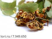 leaf medicine cold blossom bloom. Стоковое фото, фотограф Heinz-Jürgen Landshoeft / PantherMedia / Фотобанк Лори