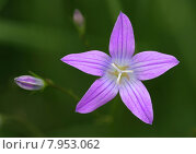 Купить «green plant flower blossom purple», фото № 7953062, снято 25 марта 2019 г. (c) PantherMedia / Фотобанк Лори