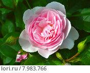 Купить «Роза флорибунда Наташа Ричардсон (лат. Natasha Richardson), Harkness Roses», эксклюзивное фото № 7983766, снято 19 июля 2015 г. (c) lana1501 / Фотобанк Лори