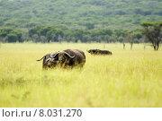 Купить «africa tanzania serengeti kaffernb ffel», фото № 8031270, снято 25 мая 2018 г. (c) PantherMedia / Фотобанк Лори