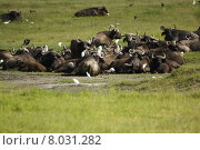 Купить «africa tanzania kaffernb ffel ngorongoronp», фото № 8031282, снято 15 августа 2018 г. (c) PantherMedia / Фотобанк Лори