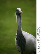 animal bird grey gray animals. Стоковое фото, фотограф Martina Berg / PantherMedia / Фотобанк Лори