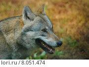 Купить «autumn fall fence zoo wolf», фото № 8051474, снято 22 июля 2019 г. (c) PantherMedia / Фотобанк Лори