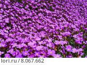 Купить «summer plant flower blossom purple», фото № 8067662, снято 25 марта 2019 г. (c) PantherMedia / Фотобанк Лори