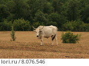 Купить «agriculture farming bull buffalo bovine», фото № 8076546, снято 21 мая 2018 г. (c) PantherMedia / Фотобанк Лори