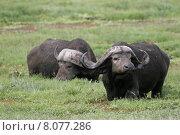 Купить «879 kenya swamp buffalo afrikanischer», фото № 8077286, снято 22 января 2018 г. (c) PantherMedia / Фотобанк Лори