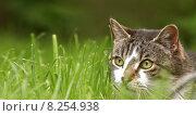 Купить «cat pussycat domestic stra enkater», фото № 8254938, снято 22 марта 2019 г. (c) PantherMedia / Фотобанк Лори