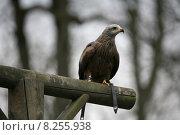 Купить «bird birds milan raptor falconer», фото № 8255938, снято 22 марта 2019 г. (c) PantherMedia / Фотобанк Лори