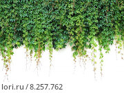 Купить «nature wall leaves frondage tendrils», фото № 8257762, снято 22 января 2019 г. (c) PantherMedia / Фотобанк Лори