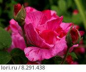 Купить «plant flower historical rose striated», фото № 8291438, снято 23 апреля 2019 г. (c) PantherMedia / Фотобанк Лори