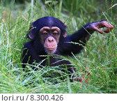 Купить «schimpanse baby tierkind tier chimp», фото № 8300426, снято 25 марта 2019 г. (c) PantherMedia / Фотобанк Лори
