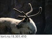 Купить «animal mammal north arctic horns», фото № 8301410, снято 25 апреля 2019 г. (c) PantherMedia / Фотобанк Лори