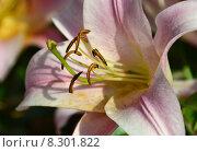 Купить «Лилия От-гибрид Саламис (лат. Salamis)», эксклюзивное фото № 8301822, снято 21 июля 2015 г. (c) lana1501 / Фотобанк Лори