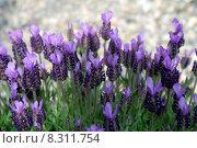 Купить «plant flower species smell lavender», фото № 8311754, снято 20 августа 2018 г. (c) PantherMedia / Фотобанк Лори