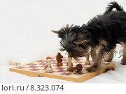 Купить «Смешной щенок играет с шахматными фигурами на шахматной доске», фото № 8323074, снято 14 февраля 2015 г. (c) Лариса Капусткина / Фотобанк Лори