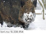 Купить «pig scrofa sus wild boar», фото № 8338954, снято 16 августа 2018 г. (c) PantherMedia / Фотобанк Лори