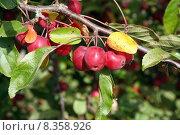 Купить «fruits progenies embellishment rosaceae apfel», фото № 8358926, снято 22 января 2019 г. (c) PantherMedia / Фотобанк Лори