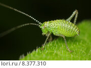 Купить «green insect nymph grasshopper larva», фото № 8377310, снято 18 октября 2019 г. (c) PantherMedia / Фотобанк Лори