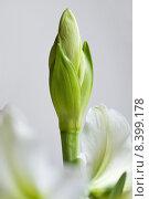 Купить «amaryllis amaryllidaceae amaryllisgew chse hippeastrum», фото № 8399178, снято 31 мая 2020 г. (c) PantherMedia / Фотобанк Лори