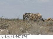 Купить «africa horse zebra foal gregarious», фото № 8447874, снято 26 марта 2019 г. (c) PantherMedia / Фотобанк Лори
