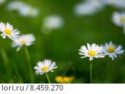 Ромашки на лугу. Стоковое фото, фотограф Ирина Буракова / Фотобанк Лори